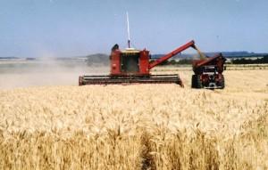 cosecha trigo 3