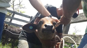 trazabilidad animales bovinos
