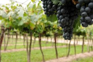Argentina comenzará a exportar uvas frescas a China