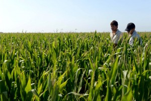 Pronostican que la siembra de maíz alcanzaría una cifra récord en la próxima campaña