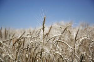 Un equipo del INTA logró mejorar el rendimiento del trigo