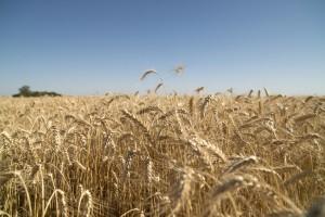 Las exportaciones de trigo pan aumentarán un 15 por ciento en la campaña actual