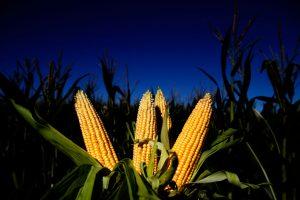 Las ventas de maíz al sector exportador aumentaron 12,4%