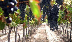 Buenas Prácticas de Manufacturas para el sector vitivinícola de Cachi