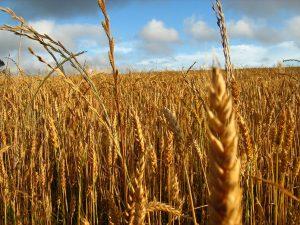 Exportaciones de trigo crecieron un 23%