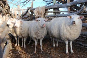 Impulsan proyectos productivos para los sectores ovino y caprino en Entre Ríos