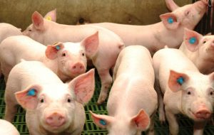 Productores y entidades ruralistas rechazaron la apertura del mercado argentino a la carne de cerdo de EEUU