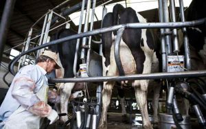 Advierten que la producción de leche en 2017 va a ser menor que el año anterior