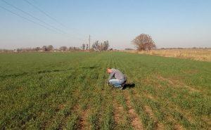 Presentaron programa para analizar calidad de trigo en territorio bonaerense