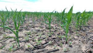 Por la sequía los productores agropecuarios perderían 2.150 millones de dólares
