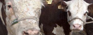Chile importará genética bovina de la Patagonia argentina