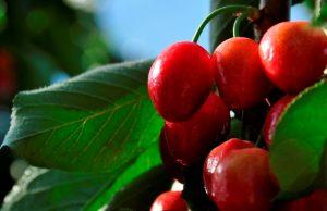 Diseñan una cereza electrónica para mejorar la calidad de las frutas