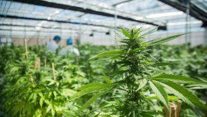 Regulación de la producción de cannabis en el país