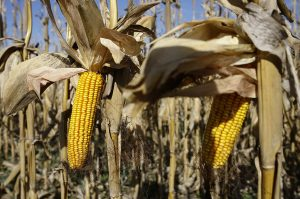 Récord de exportaciones de maíz: 16,3 millones de toneladas